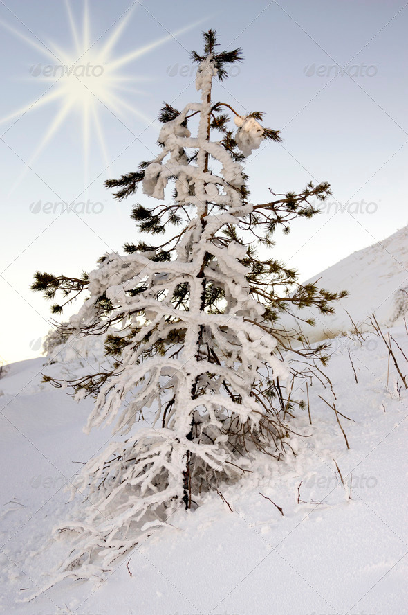 Single pine tree covered with snow - Stock Photo - Images