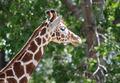 Giraffe - PhotoDune Item for Sale