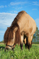 small horse eating grass - PhotoDune Item for Sale