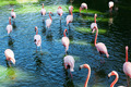 a flock of flamingos - PhotoDune Item for Sale