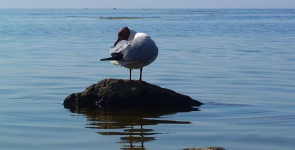 Sea Gull on a Stone in the Sea