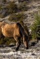 Wild Mustang Horse Grazing - PhotoDune Item for Sale