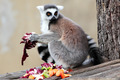 Ring-tailed lemur (Lemur catta) eating fruits and vegetables - PhotoDune Item for Sale