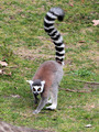Ring-tailed lemur (Lemur catta) moving on the ground - PhotoDune Item for Sale