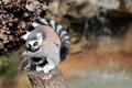 Ring-tailed lemur (Lemur catta) cleaning the fur - PhotoDune Item for Sale