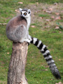 Ring-tailed lemur (Lemur catta) sitting on a log - PhotoDune Item for Sale