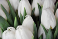 White Tulips 1 - PhotoDune Item for Sale