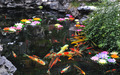 Koi pond - PhotoDune Item for Sale