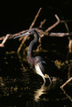 Tricolored Heron 2 - PhotoDune Item for Sale