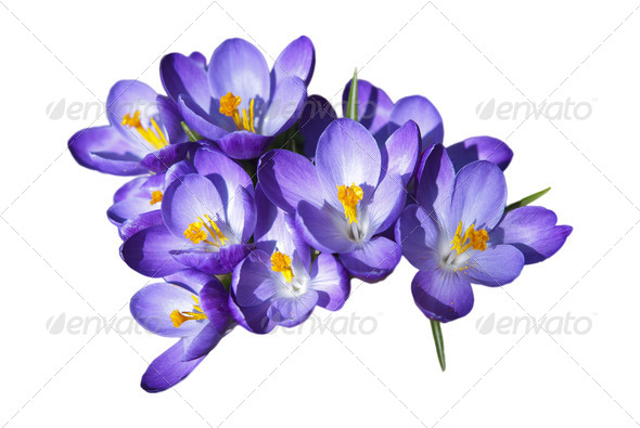 Crocus Flowers - Stock Photo - Images
