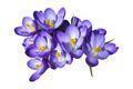 Crocus Flowers - PhotoDune Item for Sale