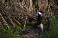 Canada Goose in Grass - PhotoDune Item for Sale