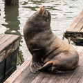 Sea Lions (Phoca Vitulina) at Rest - PhotoDune Item for Sale