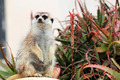 A meerkat looking around - PhotoDune Item for Sale