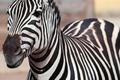 Zebra portrait - PhotoDune Item for Sale