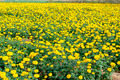 Yellow flower garden in Thailand - PhotoDune Item for Sale