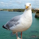 Seagull bird close up in Newquay, Cornwall UK. - PhotoDune Item for Sale