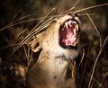 portrait of lioness - PhotoDune Item for Sale