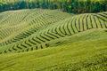 Green tea garden - PhotoDune Item for Sale