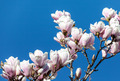 Magnolia Flowers Against Blue Sky - PhotoDune Item for Sale