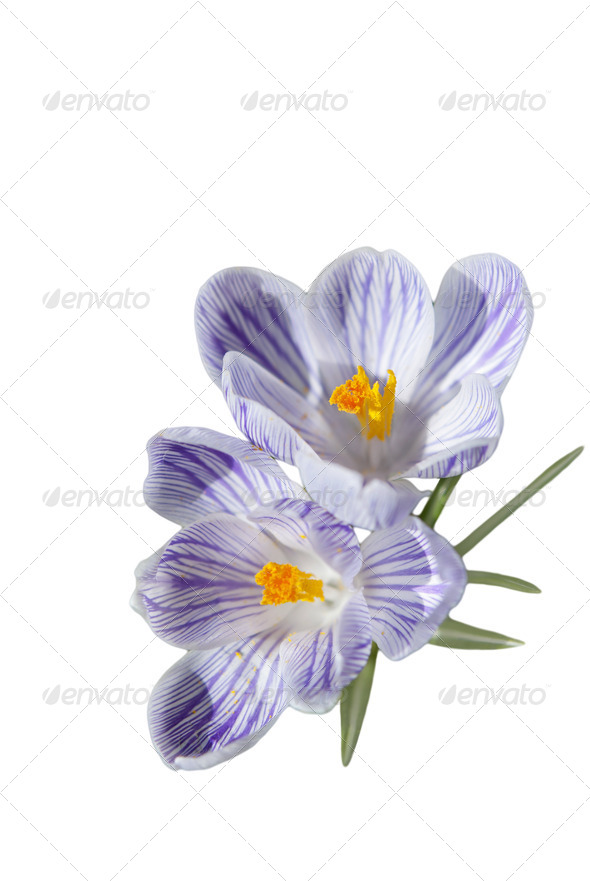Crocus Flowers - Stock Photo - Images