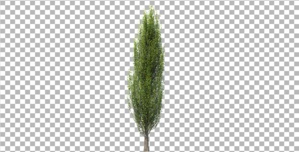 3DOcean Tree poplar 4291846