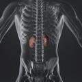 Adrenal Glands - PhotoDune Item for Sale
