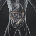 Large Intestine - PhotoDune Item for Sale