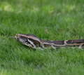 Python In The Grass - PhotoDune Item for Sale