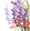 Gladiolus Flowers - PhotoDune Item for Sale