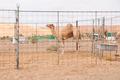 Racing camel - PhotoDune Item for Sale