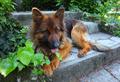 german-shepard - PhotoDune Item for Sale