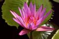 Pink Lotus - PhotoDune Item for Sale