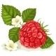 Raspberry with Leaves and Flowers - GraphicRiver Item for Sale