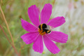 Purple cosmos flower with bumble bee - PhotoDune Item for Sale
