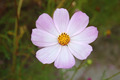 Pink cosmos flower - PhotoDune Item for Sale