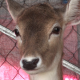 Deer - Close Up - VideoHive Item for Sale