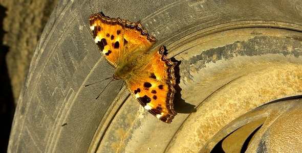 Auto Butterfly 2