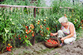 Mistress of a kitchen garden received harvest - PhotoDune Item for Sale
