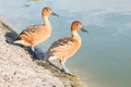 Fulvous Whistling Ducks - PhotoDune Item for Sale