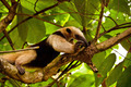 Wild Coati On Tree - PhotoDune Item for Sale