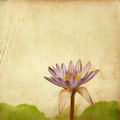 lotus flower on old grunge paper - PhotoDune Item for Sale