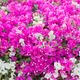 Bougainvillea Flowers - PhotoDune Item for Sale