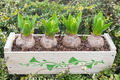 Young hyacinth bulbs - PhotoDune Item for Sale