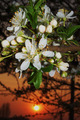 Apple flowers at sunset - PhotoDune Item for Sale