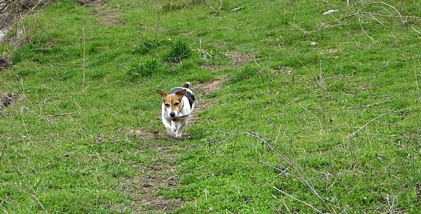 Jack Russell Terrier on the Green Trail