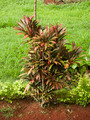 Red Cordyline Rubra - PhotoDune Item for Sale