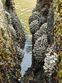 Barnacles on Tidepool Rocks at the Beach at Ecola State Park Oregon USA - PhotoDune Item for Sale