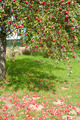 Apple tree - PhotoDune Item for Sale