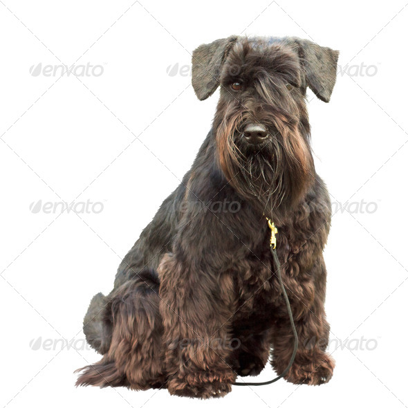 portrait of a thoroughbred dog Black Miniature Schnauzer - Stock Photo - Images